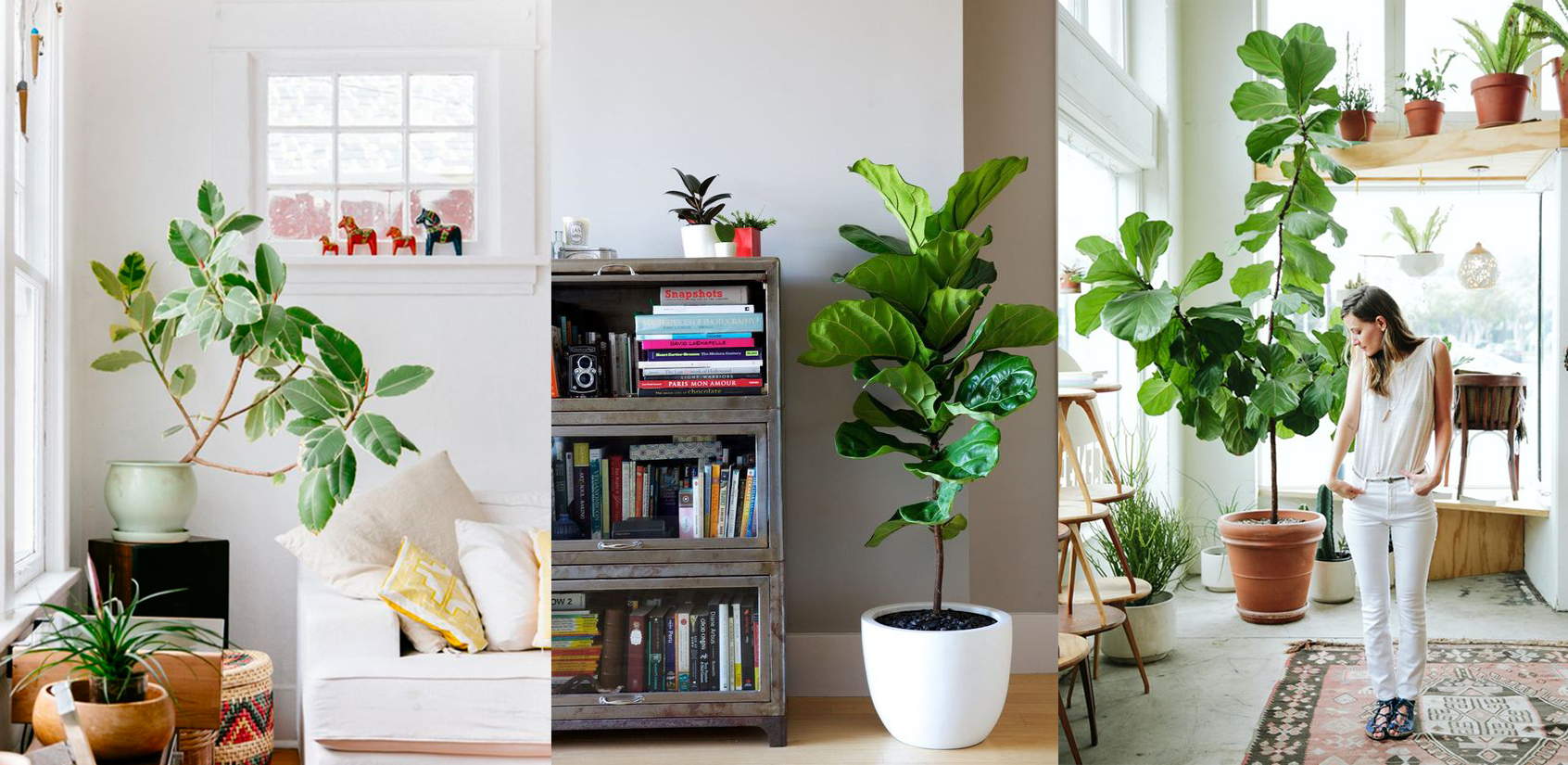 The Ficus is a plant which doesn't need much maintenance