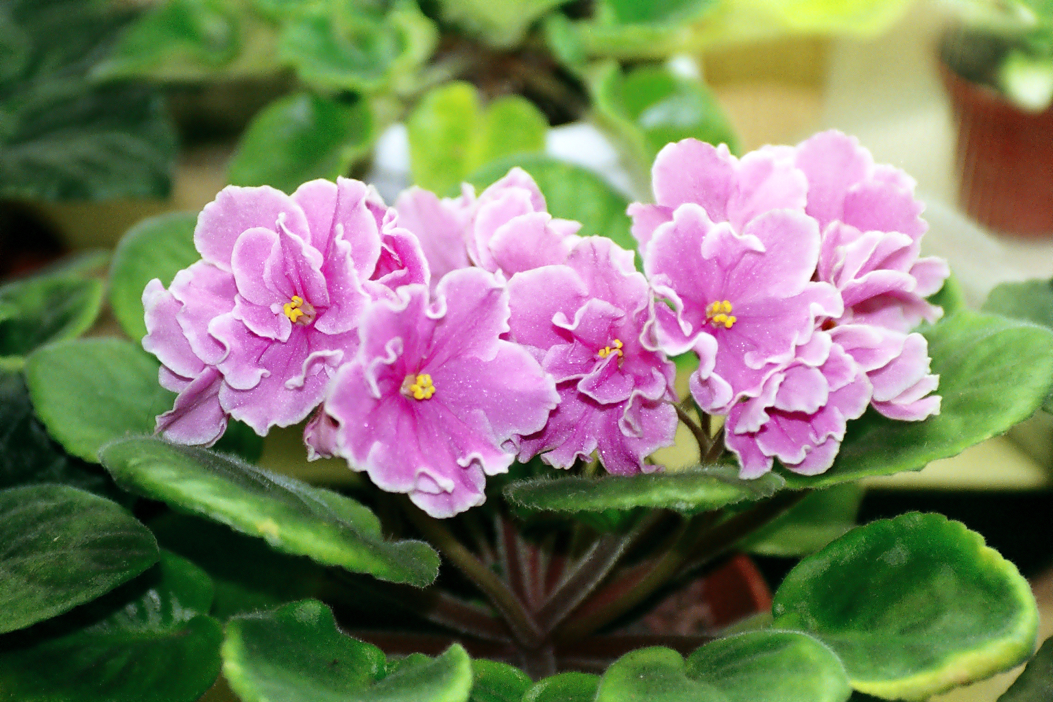 African Violet Beautiful Plant for Indoors
