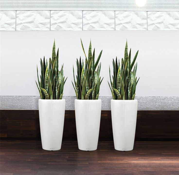 The Snake Plant is an Indoor Plant That don't need much Maintenance