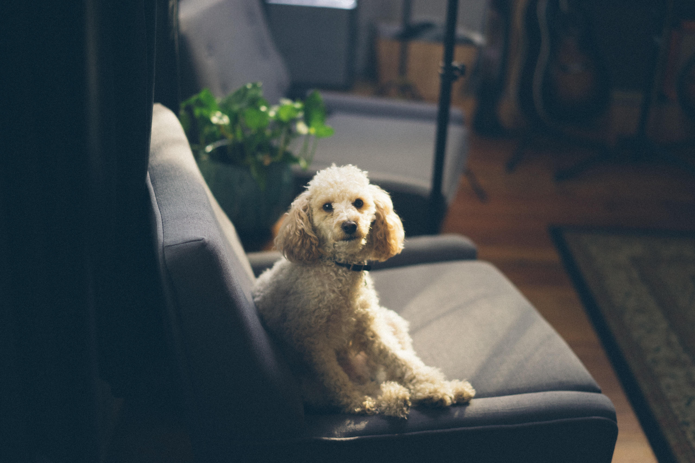犬の飼い主が知っておくべき素晴らしい知恵6つ(ペットとソファ生地)