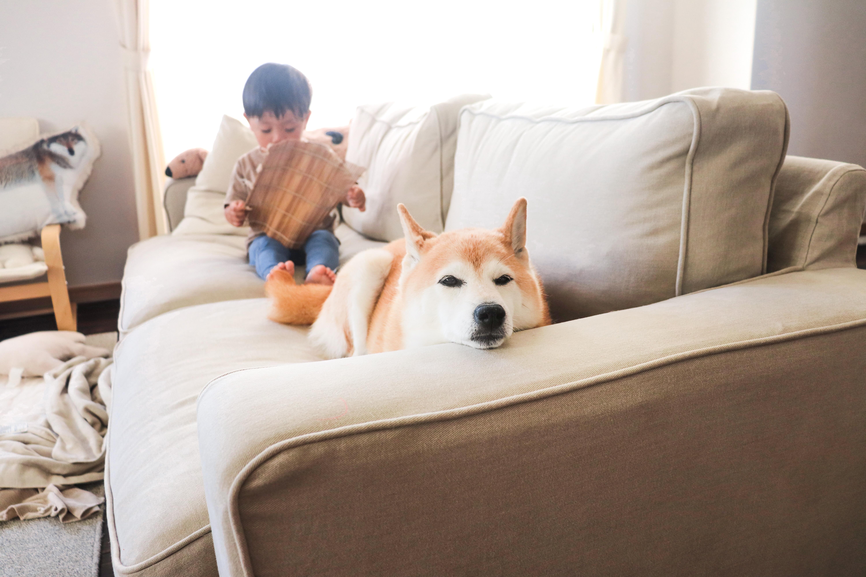 新しいソファカバーを取り付けた無印良品ワイドアームソファでくつろぐ犬。