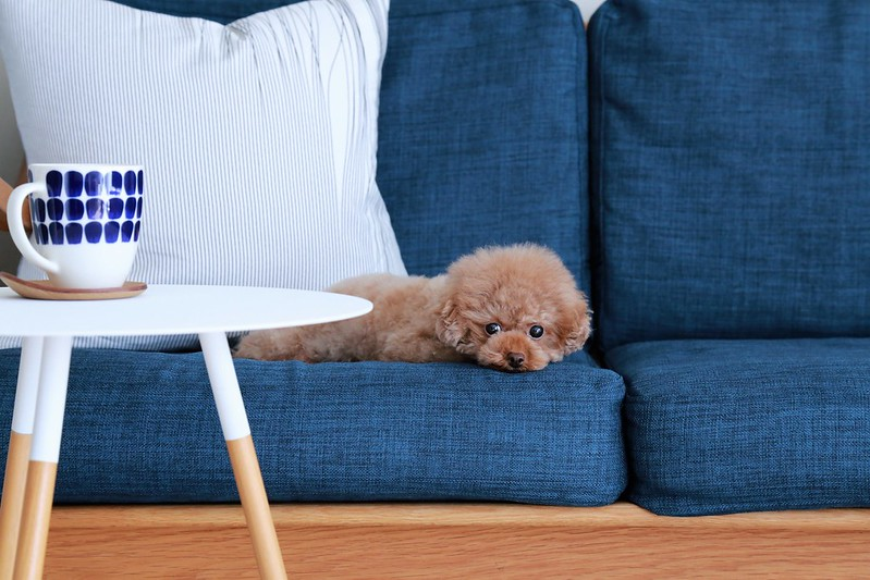 dog-on-polyester-couch-fabric